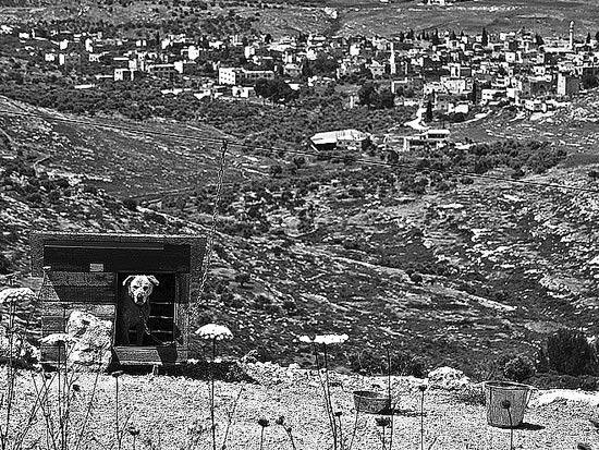 כלב שמירה בהר כביר באלון מורה / צלם: אדוארד קפרוב
